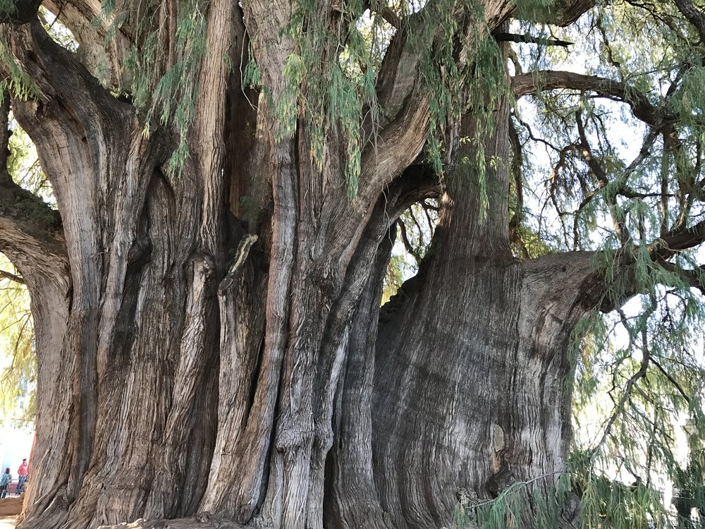The Tree of Tule, the widest tree in the world. Estimates around 2,000 years old.
