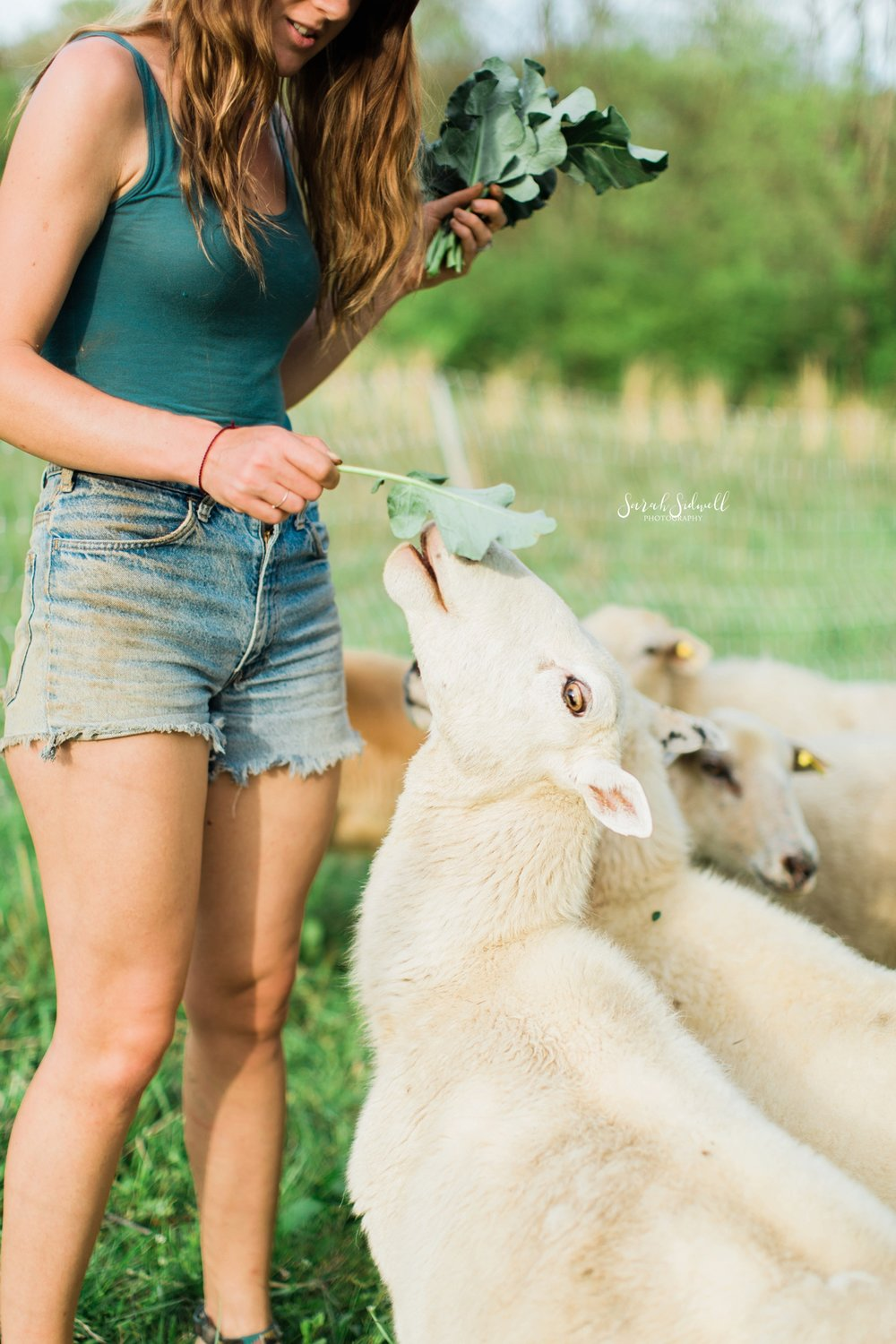 Sheep eat out of a woman's hand