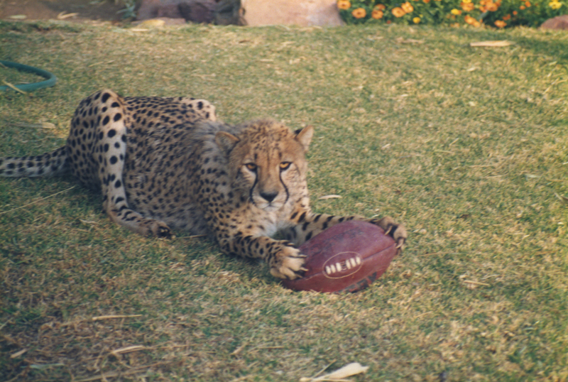 A cheetah with a rugby ball, Nambia  By Phoebe or her mum.