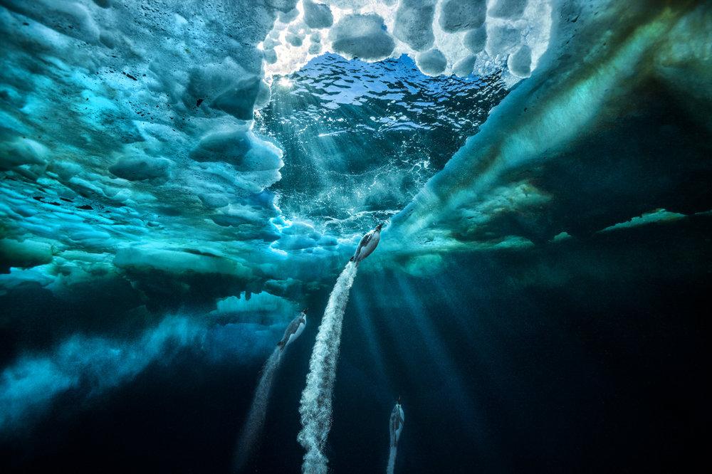 Propulsion, Photo by Paul Nicklen (Ross Sea, Antarctica)