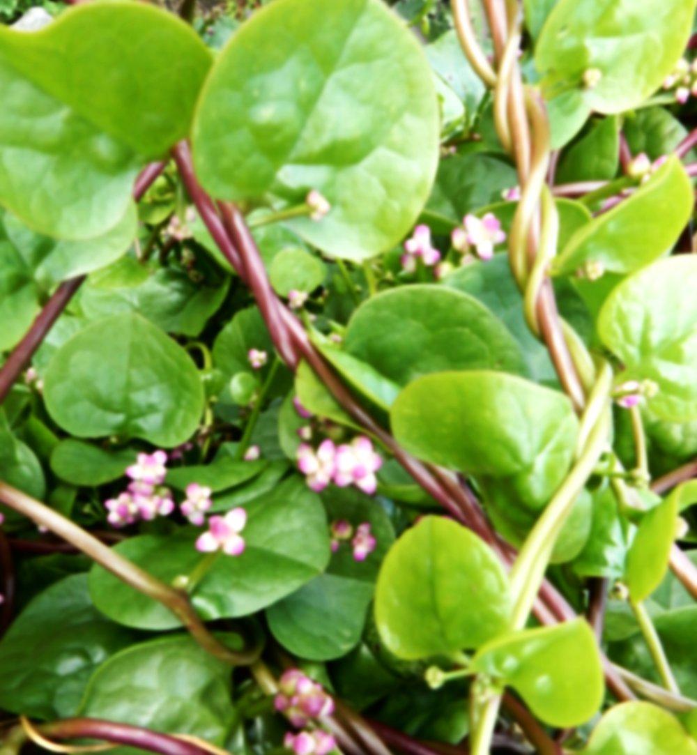 CEYLONSPINAT / MALABARSPINAT - Dekorative Rankpflanze mit kleinen rosa/weißen Blüten. Die Blätter können roh oder gedünstet gegessen werden. Sehr robust. Verträgt Trockenheit aber auch Feuchtigkeit.