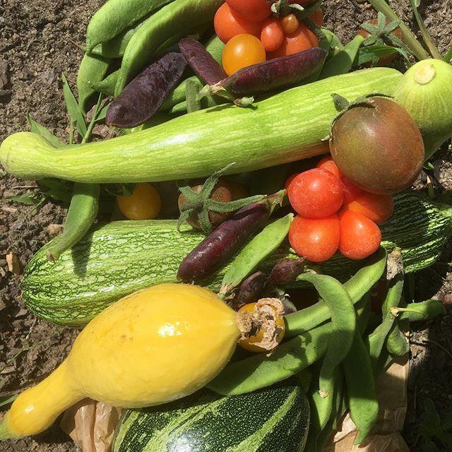 Schöne, bunte Gemüseernte. #gemüse #gesundessen #beans #vegetables #veggie #gemüsegarten #berlin #vegan #tomatoes #tomate