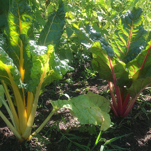 Bunter Mangold. Eine leckere Farbenpracht. #gesundessen #vegetables #veggie #gemüse #gemüsegarten #selbstversorger #vegetablegarden #healthyfood #berlin