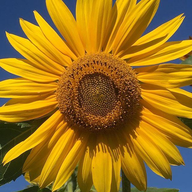 September und die Sonnenblume strahlt mit der Sonne um die Wette. #september #sunflower #sonnenblume #sun #garden #berlin #gartenblumen #happyflowers