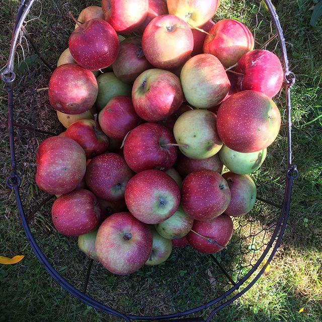 Apfelernte... #apple #apfelernte #apfel #veggie #healthyfood #spätsommer #gesundessen #fruit #obst
