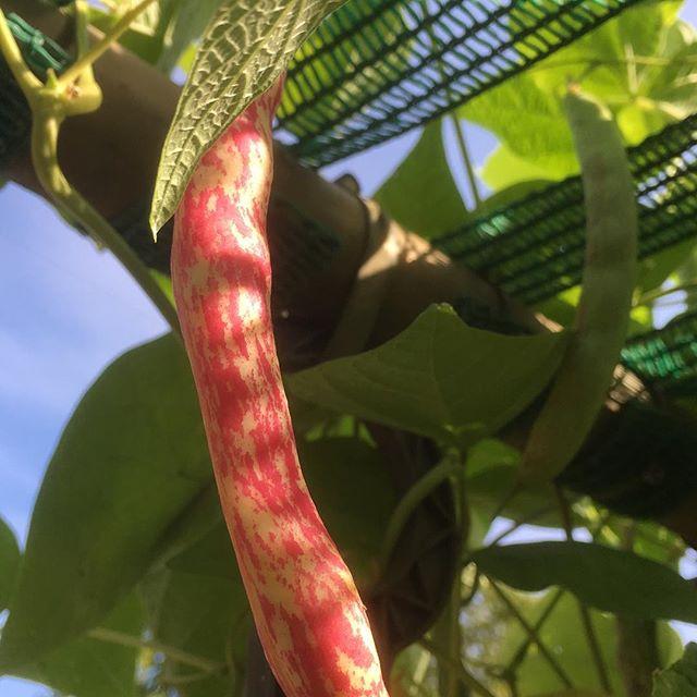Die Borlottibohnen legen nochmal richtig los. Reiche Ernte ist zu erwarten. #bohnen #beans #vegan #veggie #vegetablegarden #gemüse #gemüsegarten #urban gardening #selbstversorger #berlin