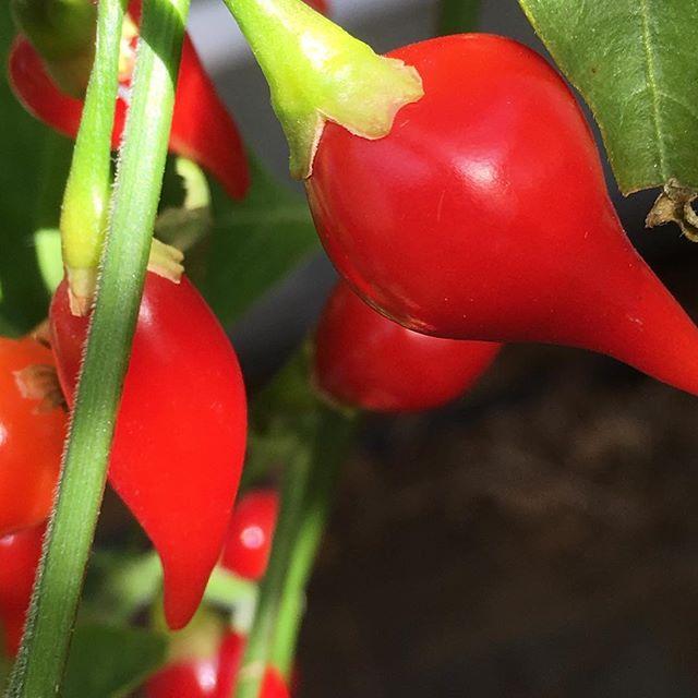 Chili de Bico. Brasilianische Chilis mit hunderten kleinen Früchten. Kaum Schärfe #chili #vegetables #urban gardening #gemüse #gemüsegarten #Selbstversorger #veggie #veganfood #berlin #gesund