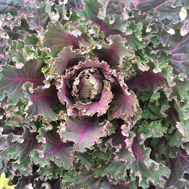 Die Flowersprout sind im letzten Jahr super gewachsen. Wir ernten immer noch. #gemüse #gesundessen #urbangardening #kohl #cabbage #vegan #vegetables