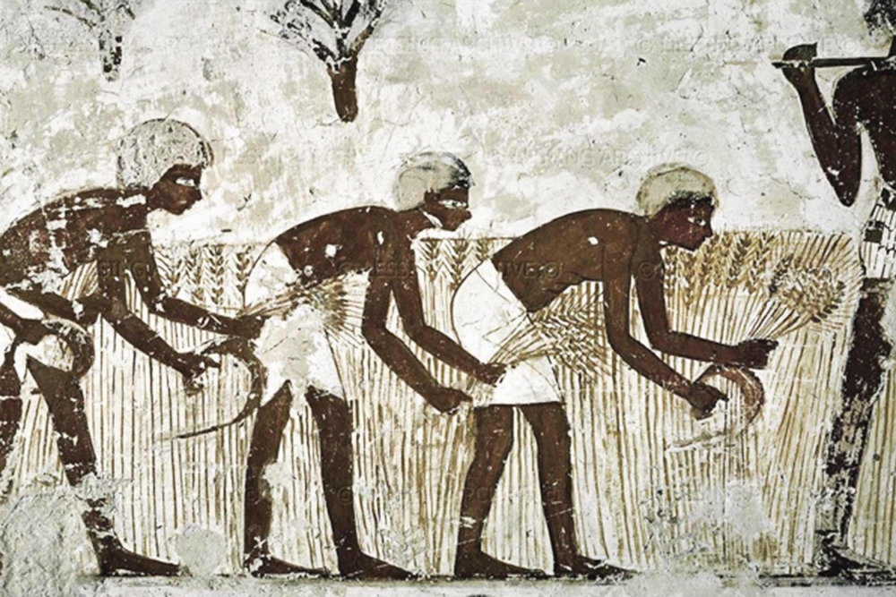 A fresco of Egyptian slaves harvesting the wheat crop.