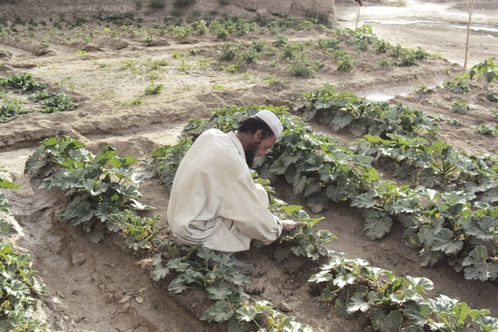 """Agriculture in the """"Fertile Crescent"""" today is still practiced in much the same way it has for thousands of years. Here is a man checking on a vegetable plant."""