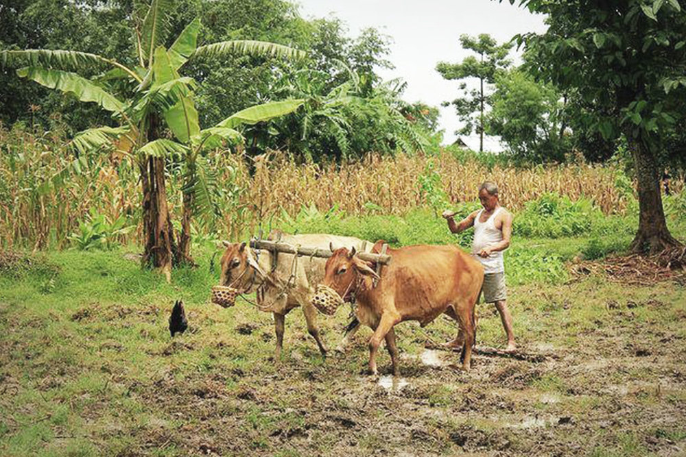 Agriculture in many fertile places around the world is still practiced in much the same way it has for thousands of years. Here is a man using his cattle to help him plow the fields in preparation for the next crop.