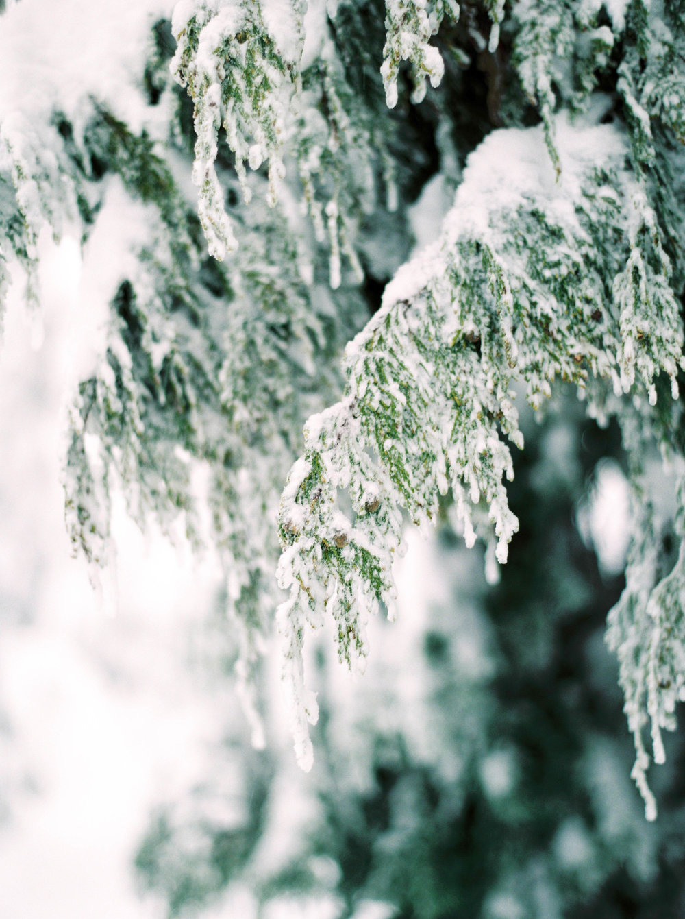 Close up of snowy trees