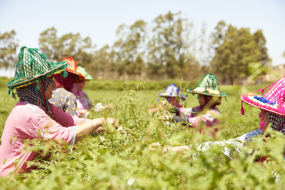 Female harvesters attend to the crop in Morocco.