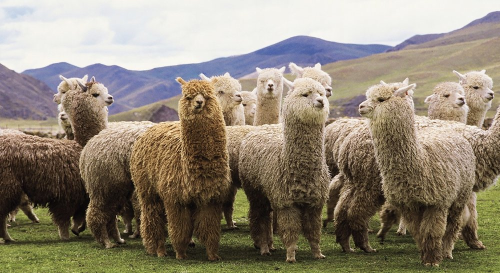 alpaca sustainability