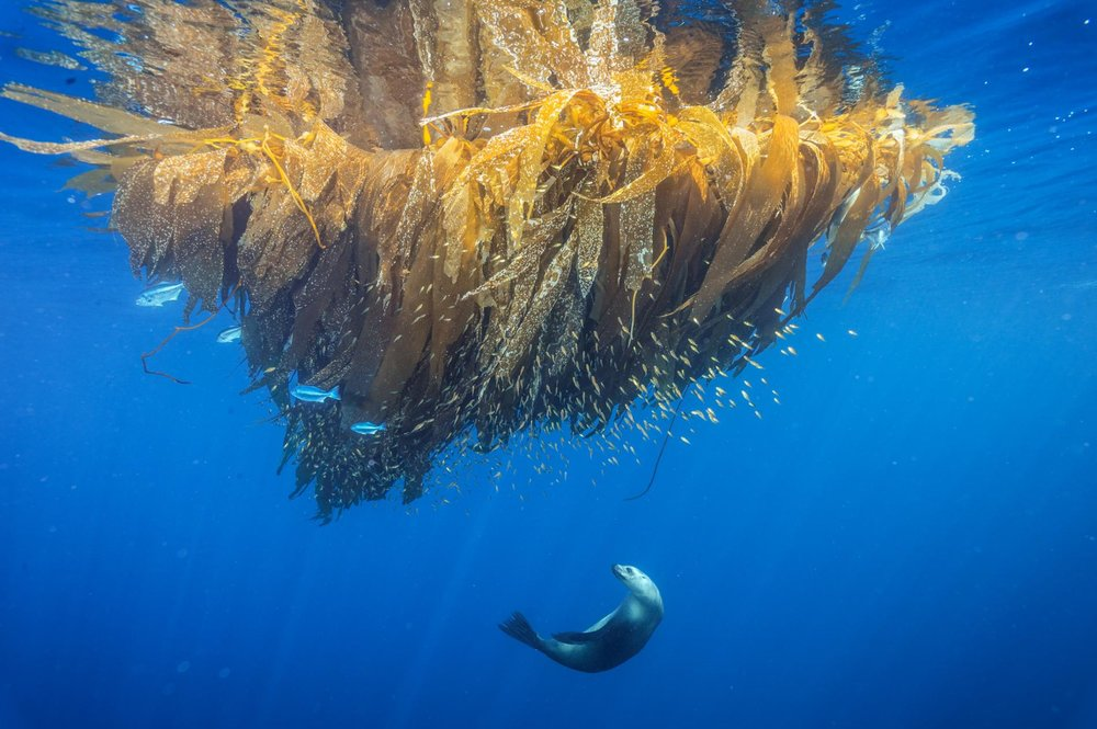 A California sea lion hunts for fish on a kelp paddy at Cortes Bank, a seamount off San Diego / Photo: Brian Skerry.