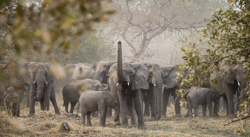 A herd of African elephants with their young calves in Chad's Zakouma National Park / Photo: Kyle de Nobrega.