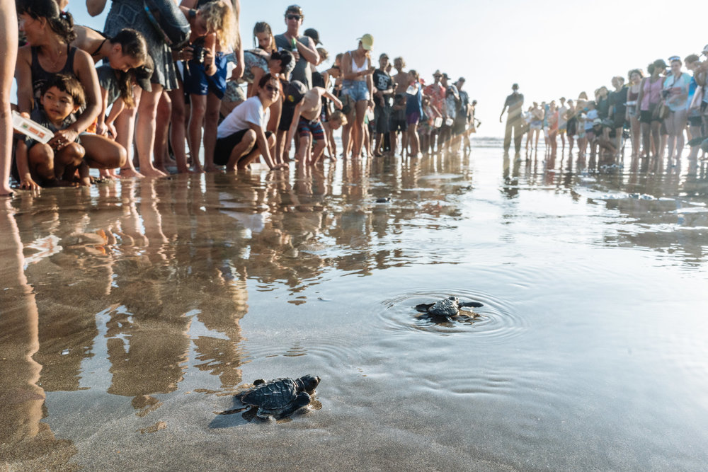 Tourists helping turtle hatchlings inch their way towards the ocean in Bali / Photo: Hannah Reyes Morales for The New York Times.