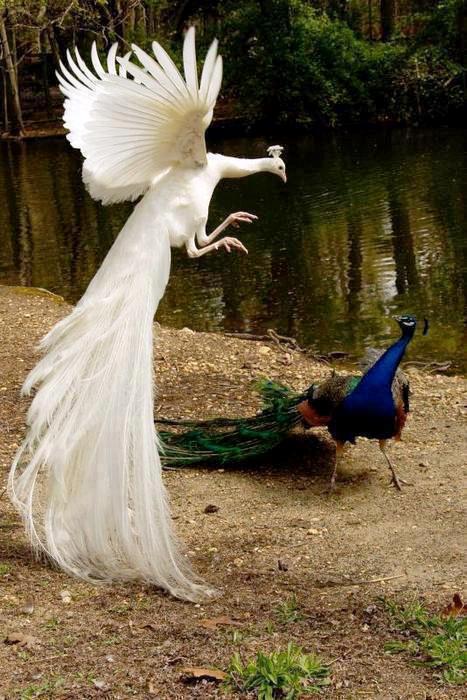 albino-peacock1.jpg