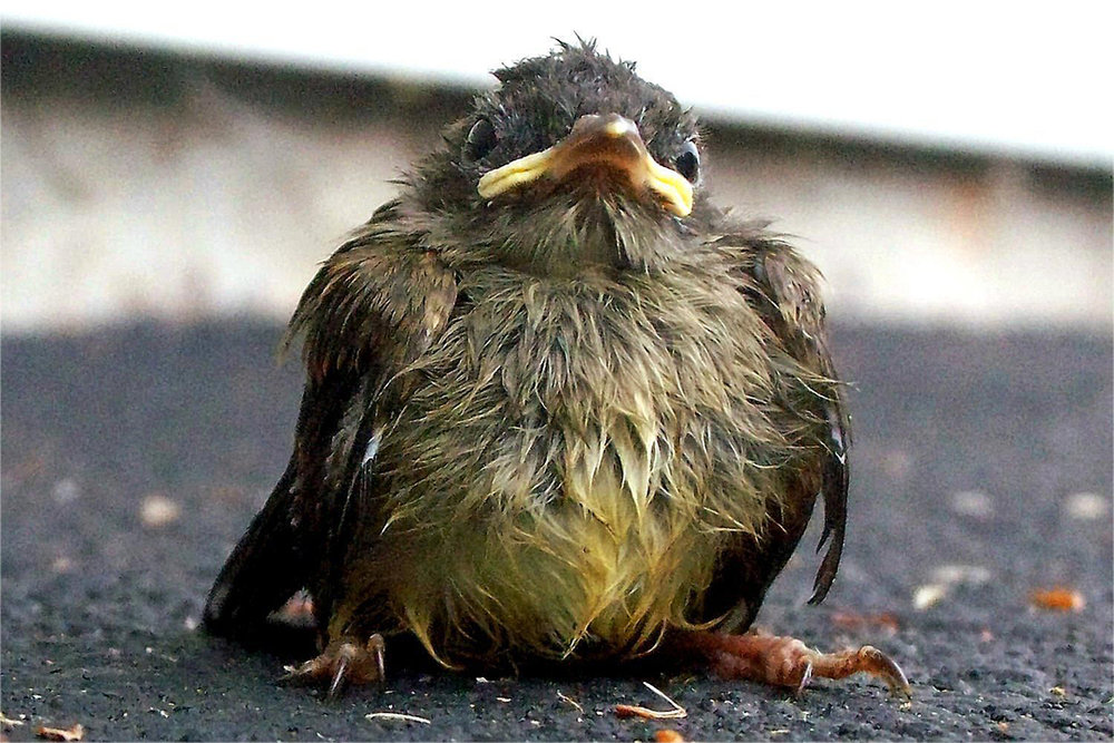 Fledglings appearing helpless are most often awaiting a parent who is nearby. Unless they're in immediate danger; cat, dog or otherwise, it's best not to bother them.