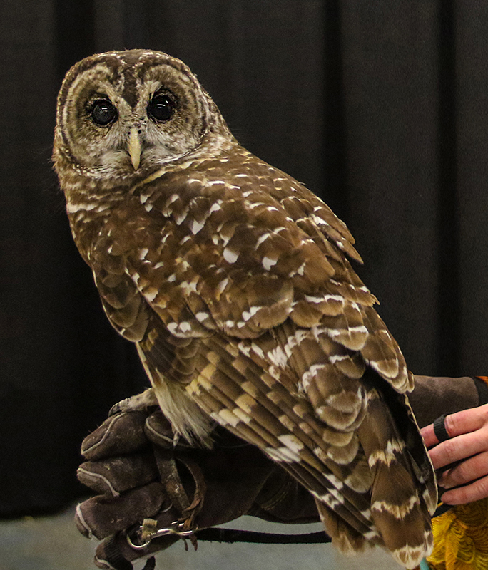 Meet Dinah, our Ambassador Barred Owl.