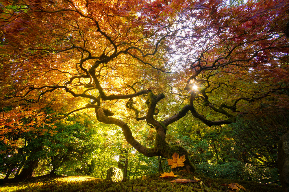 Autumn in Portland's Japanese Tea Garden