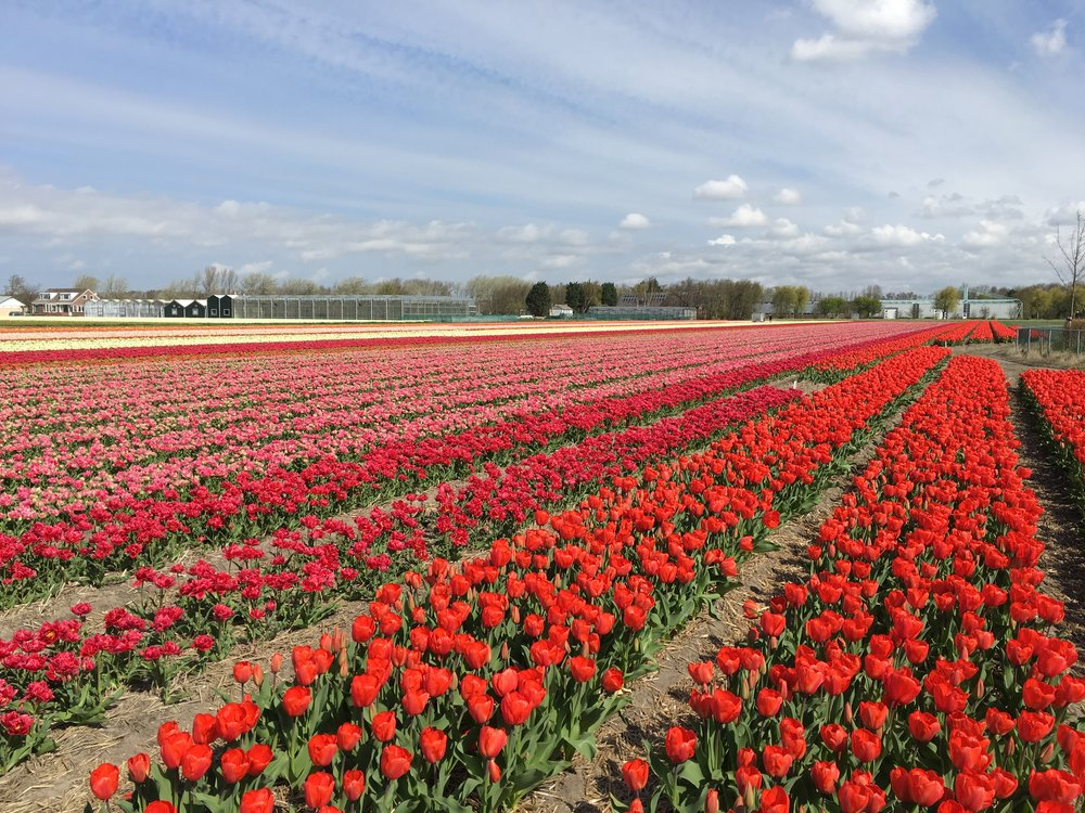Dutch Flower Field