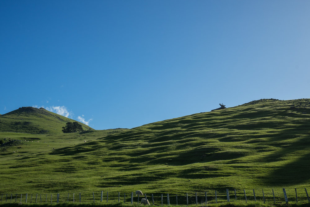 Rolling hills with sheep everywhere!