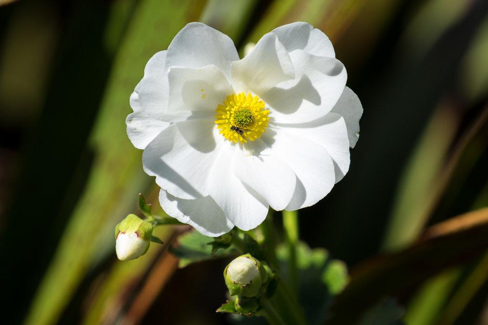 Buttercup Flower from our walk through Sub-Alpine Heath (all big words from Ashley)