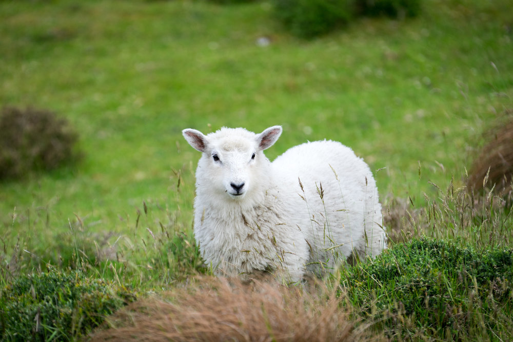Just one of a million sheep seen to date.