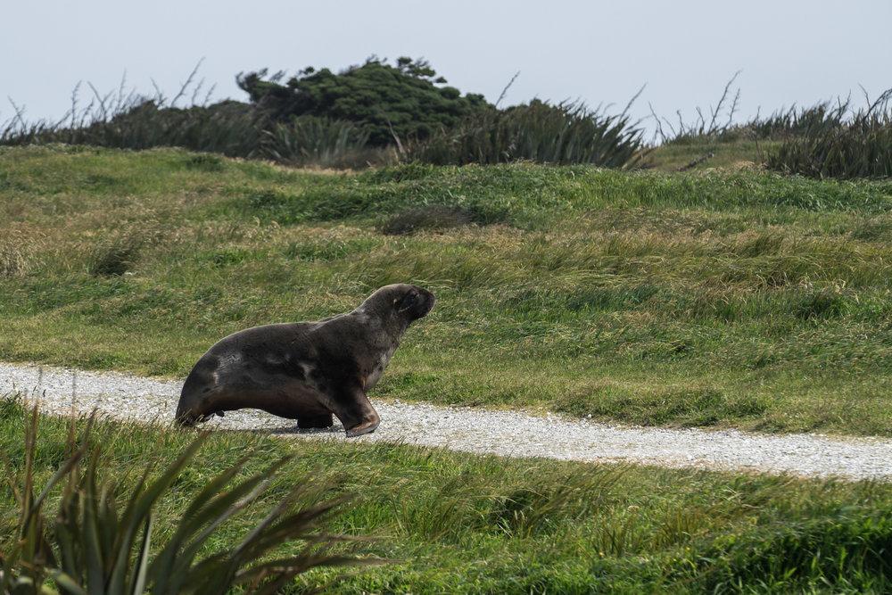 Sea Lion at Waipapa Point Lighthouse