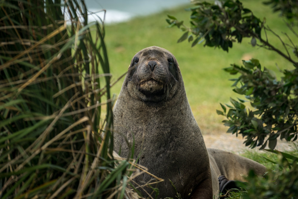 Male New Zealand Sea Lion at Waipapa Point