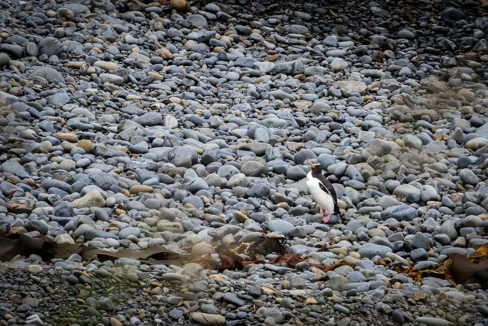 The threatened Yellow-eyed Penguin near Nugget Point