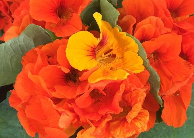 nasturtium-flower.jpg