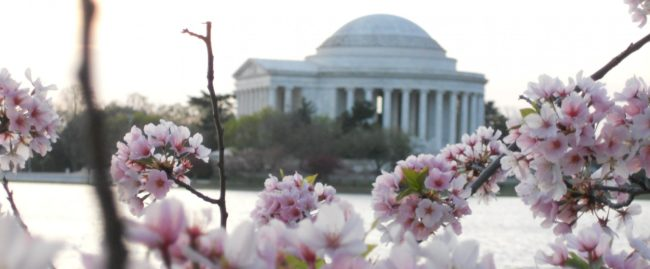 DC-Cherry-Blossoms-e1484354258747.jpg