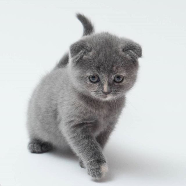 This little baby was fun to have around. So much playful energy!  #YellowBrickFold #scottishkilt #munchkinfold #munchkin #scottishfold #britishshorthair #catsofinstagram #instacatsworld #igclubcats #happy_pet #catworldwide #official_cats #delight_pets #funpetloveclub #catsofworld #club_of_cats #meowbox #insta_animall #personalkitty #catsrequest #petbox #petscorner #yourdailypets #petfancy #showcasing_pets #bns_cats #instacat_meows #amazing_picturez #minuet
