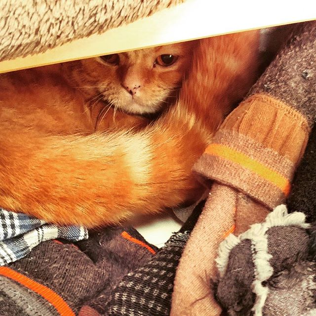 Monty learned how to open my drawer and now I keep finding him in with my socks!  #YellowBrickFold #scotishfold #catsarecrazy #hiding #foundyou #munchkinfold