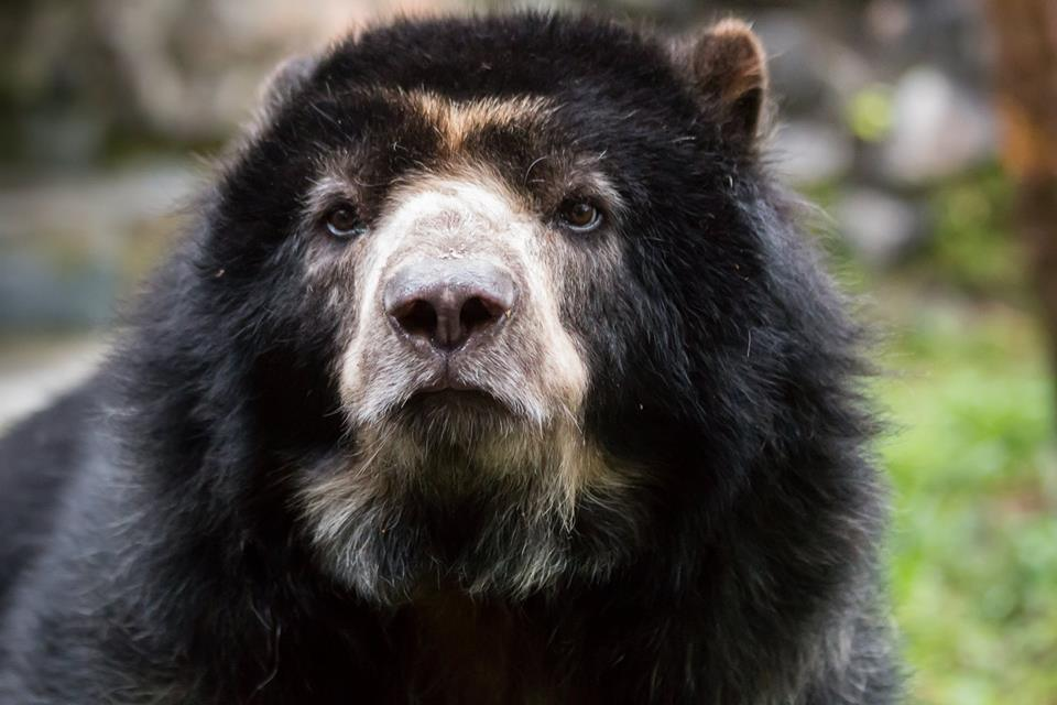 The spectacled bear (Tremarctos ornatus) is endemic to the Andes, and the only existing species of bears in South America.