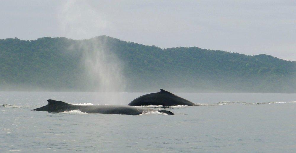 Las ballenas Yubarta ( Megaptera novaeangliae ) migran 25 mil Km aproximadamente cada año y algunas de ellas tienen sus crías en las  aguas cálidas  del pacífico colombiano,una de las zonas más biodiversas del mundo.