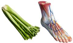 celery_bone_structure.jpg