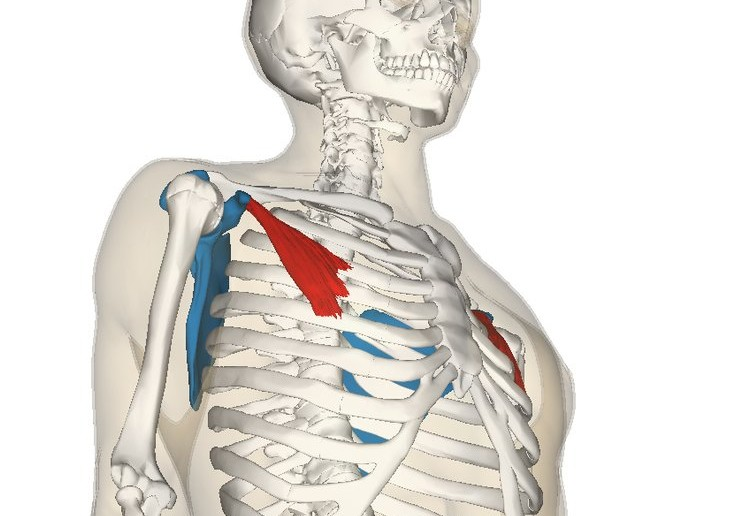 Pectoralis_minor_muscle_and_shoulder_blade-735x516.jpg