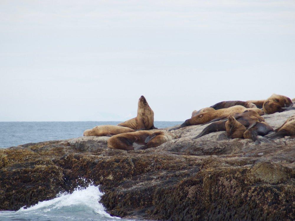 Sea Lions near Cape Aialik