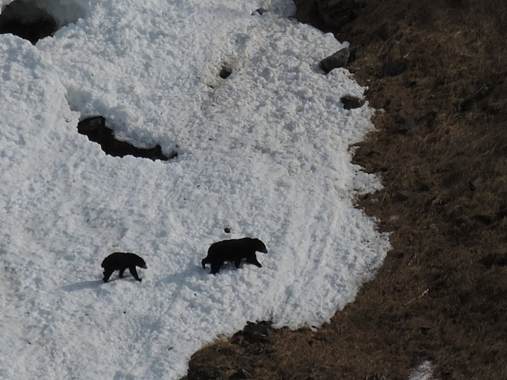 Black bears traversing a slide in Thunder Bay during a spring charter to Nuka Bay.