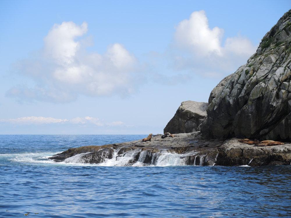 Sea Lions at Pilot Rock, exiting Resurrection Bay.