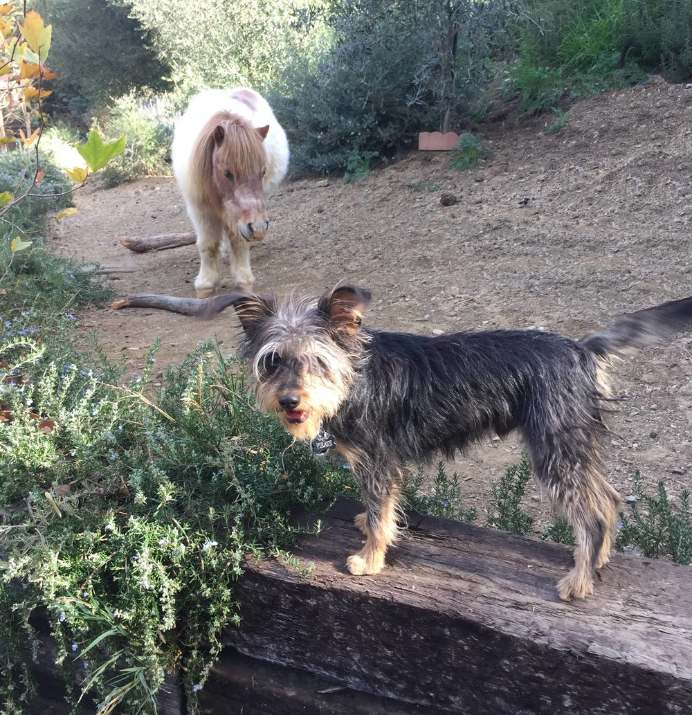 Angus the mini pony and Pirate the one eyed rescue pup, exploring the garden