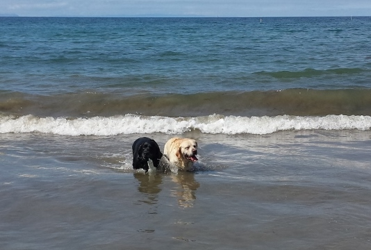 Annual beach day event -- the club has outings yearly to legal off-leash dog beaches along the southern and central California coast.