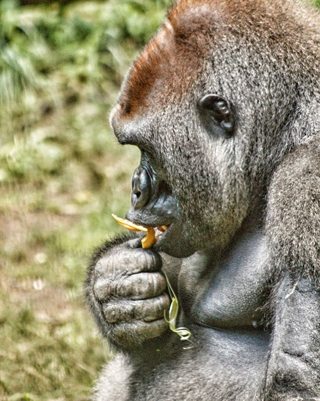Strong yet gentle. . . . . . #magnumphotos #ig_nycity #urbanphotography #urbanjungle #animalworld #what_i_saw_in_nyc #soberjournal #gorilla #ohsnapdesign #streetportrait #exclusive_animals #documentary #nycprimeshot #igscwildlife #streetphoto #icapture_nyc #bronx #bronxzoo #canonrebel #animalpolis #wildlifephotography #animalsofinstagram #canonphotos #wildlifephoto #wildlifeaddicts #animallovers #canonphotographer #ig_great_shots_nyc  #animales