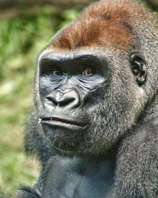 That face tho . . . . . #magnumphotos #ig_nycity #urbanphotography #urbanjungle #animalworld #what_i_saw_in_nyc #soberjournal #gorilla #ohsnapdesign #streetportrait #exclusive_animals #documentary #nycprimeshot #igscwildlife #streetphoto #icapture_nyc #bronx #bronxzoo #canonrebel #animalpolis #wildlifephotography #animalsofinstagram #canonphotos #wildlifephoto #wildlifeaddicts #animallovers #canonphotographer #ig_great_shots_nyc #animales