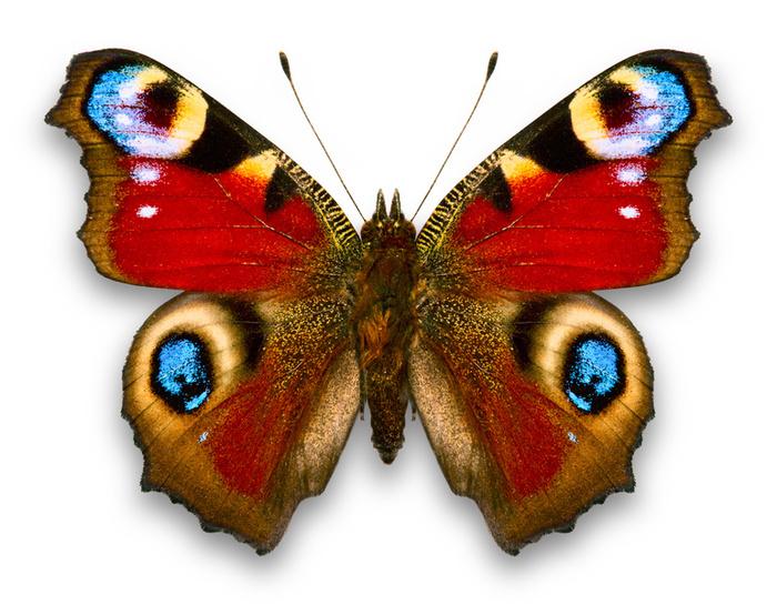 13408admiral_butterfly.jpeg