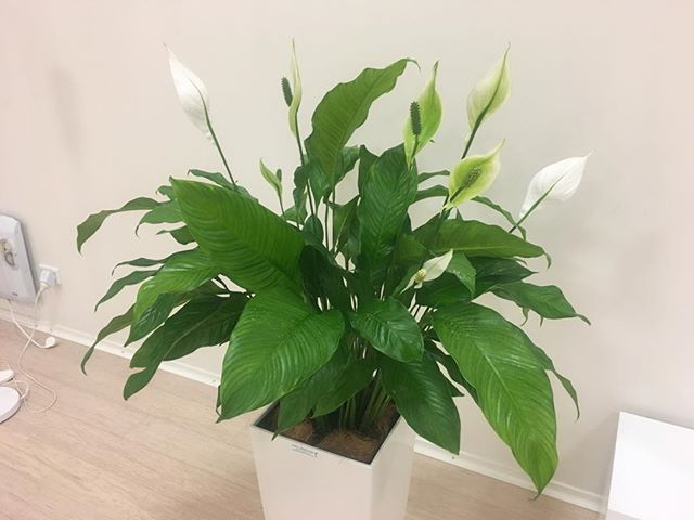 How beautiful are the peace Lily's in the studio 💛