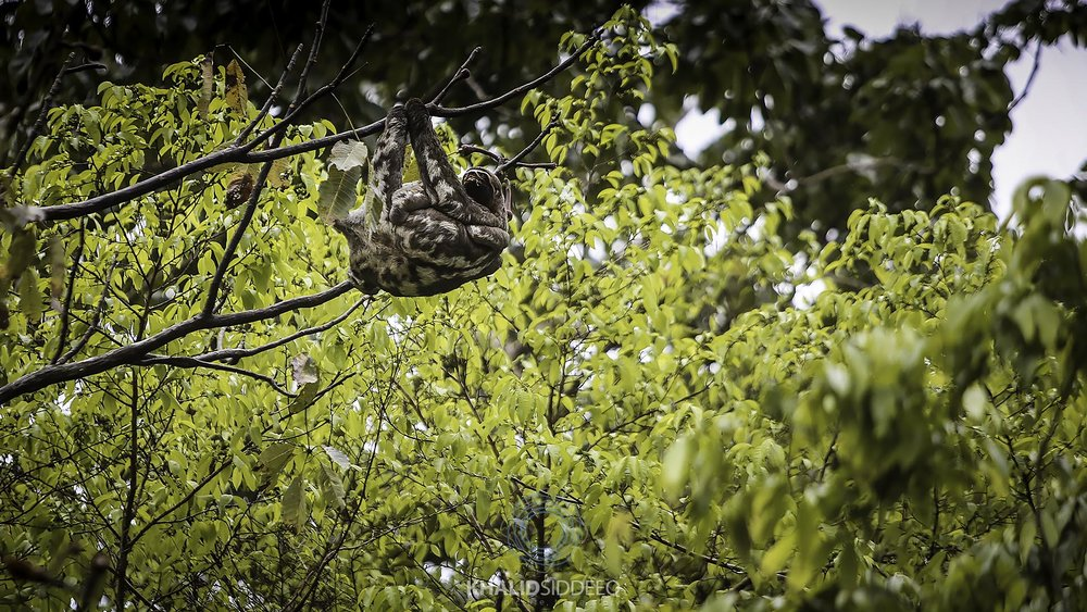 amazon sloth.jpg